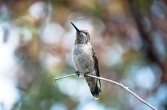 Hummingbird in Morning Light 1 of 3 (Orbmiser) Tags: bird nature oregon portland spring nikon hummingbird riverplace waterfrontpark d90 widllife 55200vr anna'shummingbird