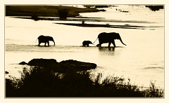 A River Crossing (david.gill12) Tags: southafrica elephants rivercrossing krugerpark