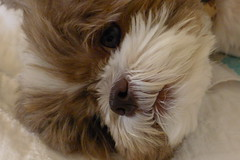 Chloe waking up from a nap (gix2lee) Tags: dog shihtzu sh liondog brownandwhitedog shihtzudog brownandwhiteshihtzu chrysanthemumdog liverandwhiteshihtzu