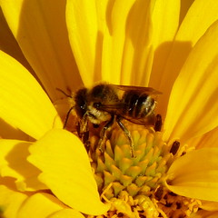 Solitary bee in a sunflower (Dendroica cerulea) Tags: summer plant flower yellow garden newjersey nj insects bee sunflower highlandpark asteraceae invertebrates arthropod hymenoptera insecta solitarybee woodlandsunflower helianthusdivaricatus middlesexcounty asterales heliantheae