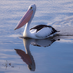 gentle giant (Fat Burns) Tags: bird dam australian pelican wivenhoe australianpelican specanimal freedomtosoarlevel1birdphotosonly