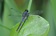 blue corporal skimmer dragonfly (morris 811) Tags: green insect leaf wings nikon dragonfly bokeh lace 300mm f4 d90 bluecorporal