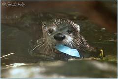 Otter Pop (Nikon~Dolll) Tags: mary elvis otter 4thofjuly independenceday redwhiteandblue riverotter enrichment northamericanriverotter redwhiteandzoo holidayenrichment