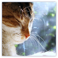 Feels so Good ~~~~~~~ (Trish Hamme Farewell Sweet Stevie,R.I.P.) Tags: sun cat happy stevie whiskers basking missstevienicks happywhiskerwednesday picmonkey