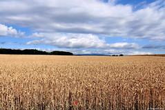 Champ de bl (Diegojack) Tags: fleurs paysages coquelicots bls campagnes lantes