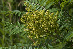 Bee candy (violetflm) Tags: flower yellow insect native sumac il bee bog lakecounty d300s d3u5219