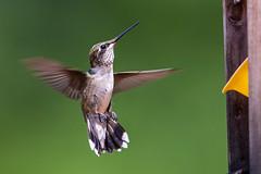 Female Ruby Throat Hummingbird (Bill Varney) Tags: canon hummingbird ruby throat photobybillvarney