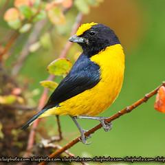 Orange-Bellied Euphonia (elaiphoto) Tags: elai birdwatcher orangebelliedeuphonia euphoniaxanthogaster birdperfect edwardlai elaiphotocom edklai yoowoo