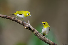Two Oriental White Eyes on a stick (kengoh8888) Tags: wild brown white cute eye pose dof pentax background ngc twin depthoffield clean npc earthy perch lovely oriental avian onastick k5 twobirds smallbird 2birds