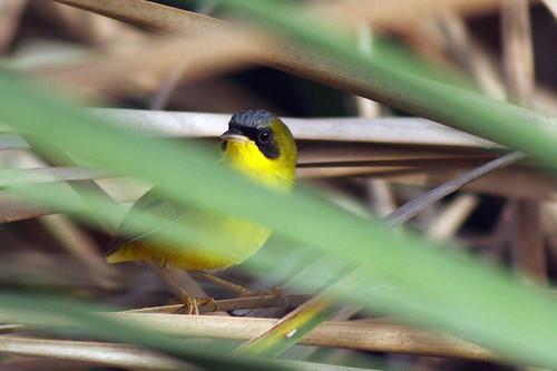 Reinita Equinoccial (Masked Yellowthroat / Geothlypis aequinoctialis)