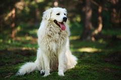 Zeus (Norbert Králik) Tags: dog forest bokeh zeus canoneos5d canonef85mmf18usm