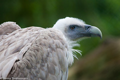 Vulture (sealbe) Tags: animals gier 5dmarkii 100400f56isusm olmsezoo
