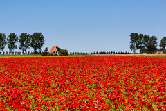 Poppieeeeeeees (BraCom (Bram)) Tags: blue trees red summer house holland bomen cottage nederland thenetherlands bluesky poppy huis dijk dike klaproos papaver zuidholland goereeoverflakkee herkingen bracom