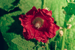 DSC04737 (Simply Angle) Tags: flowers red summer flower macro green leaves closeup sony manual pollen hollyhock 2012 alcea alcearosea ommount chewelahwa kitstar nex3 kitstar14580200mm