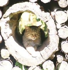 Wild cat at ease (Nicolien3000) Tags: sleeping germany deutschland rust peace wildcat duitsland slapen isselburg anholt leopoldpark wildekat anholterschweiz nicolien keizerleopold