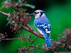 """beautiful-blue-bird-wallpaper-1600x1200 • <a style=""""font-size:0.8em;"""" href=""""http://www.flickr.com/photos/84013283@N04/7743241192/"""" target=""""_blank"""">View on Flickr</a>"""