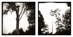 Les arbres (joel lintz) Tags: trees blackandwhite bw tree film analog forest vintage landscape lomo lomography diptych noiretblanc toycamera nb arbres diana alsace vintagecamera clone dianaf paysage diptyque cheap arbre ilford forêt plasticcamera argentique efke pellicule r100 fotopovera lomographie clône clonediana joellintz