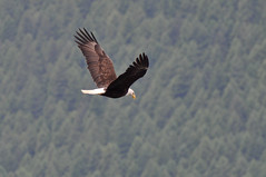 Eagle @ Parsons (wacamerabuff) Tags: camping camp washington scout scouts bsa campparsons