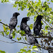Uccelli fuori La Plata