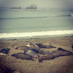 Elephant Seals on the side of the road. #notdead (Double B Photography) Tags: square squareformat iphoneography instagramapp xproii uploaded:by=instagram foursquare:venue=4eee8ff0722ea77619007d32