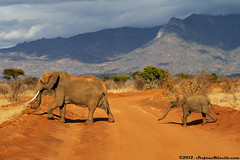 Crossing African Bush Elephant (Stefano.Minella) Tags: sunrise road light river moon silouhette two elephants close street crossing african bush elephant stars refreshing drinking male impala look tree hyraxes anthill kenya tsavo east safari animals animal national park wild this year went for holidays here they some shots most that is taken where spent days canon eos 7d ef 70200mm f4 l usm post production with lightroom 41 photoshop cs6  2012 stefano minella photo