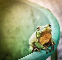 Kiss Me Baby (Doug NC) Tags: green bucket eyes frog rim greentreefrog hylacinerea