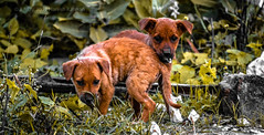 Puppies!!!(Mongrels) (HareshKannan) Tags: life food dogs puppy search twins puppies nikon sad small starts helpless 55200mm d3100