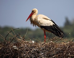 White stork (alanrharris53) Tags: portugal birds algarve