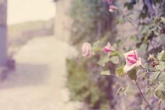 326 (Rafi Moreno) Tags: pink flowers flores primavera rose canon vintage spring soft camino pueblo hipster pale retro desenfoque rosas rafi 365proyect proyecto365fotos