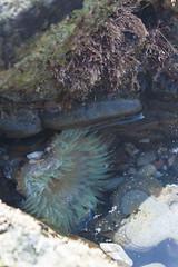 IMG_9521.jpg (AngieSix) Tags: california travel nature tidepools seaanemone crystalcovestatepark