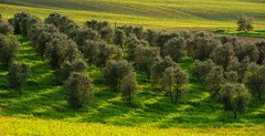 Olive Farm (jfusion61) Tags: trees shadow italy green spring afternoon farm olive tuscany siena d810 700200mm
