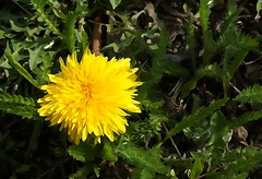 Goldilocks . . . (JLS Photography - Alaska) Tags: plant flower nature alaska gold weeds weed outdoor dandelion wildflowers jlsphotographyalaska