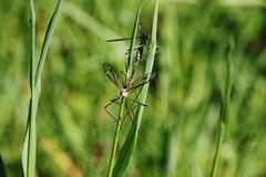 Wiesenschnake (Tipula paludosa) (Hugo von Schreck) Tags: macro insect makro insekt tipulapaludosa wiesenschnake tamron28300mmf3563divcpzda010 canoneos5dsr hugovonschreck