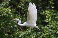great egret 5-15-2016-6 (Scott Alan McClurg) Tags: life wild sun white bird nature animal fly flying back spring pond backyard flickr glow wildlife flight neighborhood landing ardea wetlands land algae gliding greategret naturephotography glide ardeidae aalba