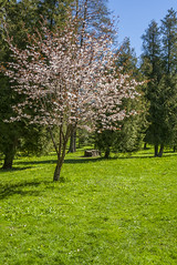 Springtime blooming tree background (AudioClassic) Tags: park new pink plant flower tree nature colors closeup fruit season cherry outdoors leaf spring flora tallinn estonia branch purple blossom gardening softness grown freshness springtime elegance newlife flowerhead