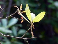 Quercus incana W.Bartram 1791 (FAGACEAE) ♂ (helicongus) Tags: spain quercus fagaceae quercusincana jardínbotánicodeiturraran