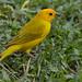 Saffron Finch, Sicalis flaveola
