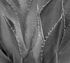 Yucca knives (FotoGrazio) Tags: cactus blackandwhite plant abstract macro art texture nature beautiful closeup composition contrast garden botanical photography dangerous photoshoot desert fineart highcontrast surreal sharp exotic grayscale moment lovely photographicart needles capture botany mothernature yucca digitalphotography pointed phototoart sandiegophotographer artofphotography flickrelite californiaphotographer internationalphotographers worldphotographer photographersinsandiego fotograzio photographersincalifornia waynegrazio waynesgrazio