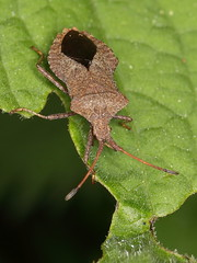 dock bug (Coreidae: Coreus marginatus) (gbohne) Tags: animal closeup canon insect insects insekt arthropods arthropoda tier wanze insekten truebug insecta truebugs squashbugs herbivorous dockbug leaffootedbugs saumwanze lederwanze schnabelkerfe taxonomy:class=insecta geo:country=germany taxonomy:phylum=arthropoda taxonomy:order=hemiptera taxonomy:suborder=heteroptera taxonomy:family=coreidae realbugs randwanzen taxonomy:binomial=coreusmarginatus taxonomy:genus=coreus lederwanzen groserandwanze taxonomy:superfamily=coreoidea geo:region=europe taxonomy:infraorder=pentatomorpha taxonomy:subfamily=coreinae taxonomy:tribus=coreini