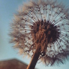 #dientedeleon #dia #cielo #acercamiento #sunday #sunnyday #dandelion #sky (LEJZA) Tags: morning blue naturaleza white nature azul garden square shine close zoom bogot flor dia squareformat cerca jardn dientedeleon acercamiento iphoneography instagramapp uploaded:by=instagram