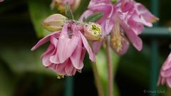 Akelei (Oerliuschi) Tags: rosa panasonic makro akelei macroaufnahme lumixgx8