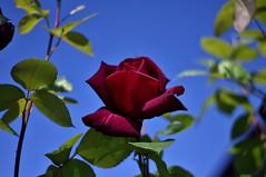 A Rose For Bob (trins) Tags: blue red weather rose pentax maroon redrose deep bluesky dslr skyblue roseleaves beautifulday vancouverwashington pentaxkx beautifulrose maroonrose nocloudsinthesky roseagainstbluesky
