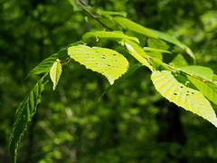 Arc of leaves and light (pilechko) Tags: light color green leaves pennsylvania newhope buckscounty bowmanshill