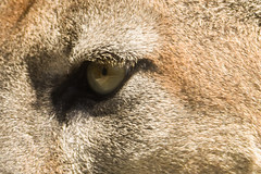 Concentration (jeff's pixels) Tags: eye nature animal mammal nikon lion d750 cougar mountainlion