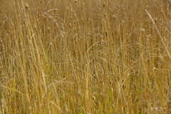 Wind Dance (kaeley.warren) Tags: landscapes fields straws countrylife