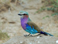 lilac-breasted roller best on mound middle 2 (2) (jeaniephelan) Tags: bird lilacbreastedroller africanbird