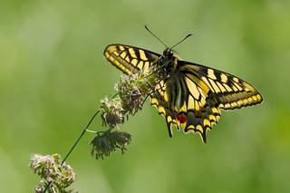 Swallowtail DSC_3686