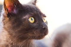 IMG_3413 (BalthasarLeopold) Tags: pet cats pets animal animals closeup cat blackcat mammal kitten feline dof kittens felines blackcats indoorcat dephtoffield