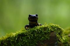 Feuersalamander (Aah-Yeah) Tags: bayern salamander salamandra achental chiemgau caudata firesalamander feuersalamander