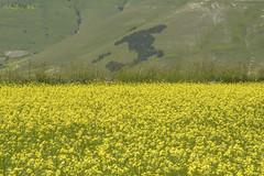 Castelluccio (13) (mauro_pet) Tags: fiori castelluccio fioritura